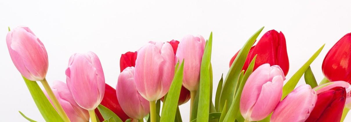 tulips-618598_1280